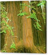 A Group Giant Redwood Trees In Muir Woods,california. Canvas Print