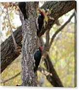 A Group Of Acorn Woodpeckers In A Tree Canvas Print
