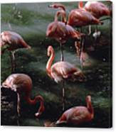 A Group Of Flamingos At The Folsom Canvas Print