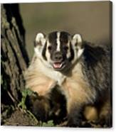 A Hand-raised Badger At The Home Canvas Print