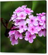 A Hummingbird Moth With Phlox Flowers Canvas Print