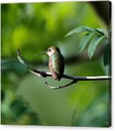 A Hummingbird Rests Canvas Print