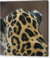A Jaguar At Omahas Henry Doorly Zoo Canvas Print