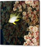 A Juvenile Golden Damsel Fish Shelters Canvas Print