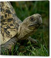 A Leopard Tortoise At The Lincoln Canvas Print