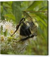 A Little Bee-hind Canvas Print