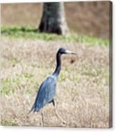 A Little Blue Heron Canvas Print