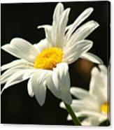 A Little Less Than Perfect Sunshine Daisy  Canvas Print
