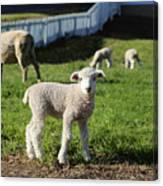 A Longwool Lamb Canvas Print