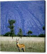 A Male Ugandan Kob Stands His Ground Canvas Print