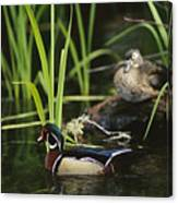 A Male Wood Duck Swims Past Its Mate Canvas Print