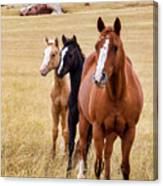 A Mare And Two Friends Canvas Print