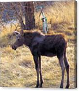 A Moose In Early Spring  Canvas Print