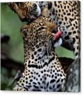 A Mother Leopard, Panthera Pardus Canvas Print