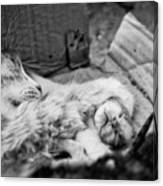 A Mother's Paw Canvas Print