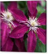 A Pair Of Clematis Flowers Canvas Print