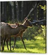 A Pair Of Cow Elk  Canvas Print