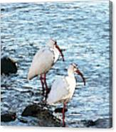 A Pair Of White Isbis Standing In The Shore Canvas Print