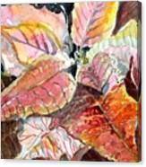 A Peach Of A Poinsettia Canvas Print