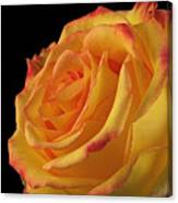 A Perfect Rose #2 Canvas Print