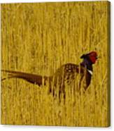 A Pheasant Looking For A Mate Canvas Print