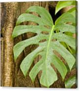A Philodendron Grows On The Side Canvas Print