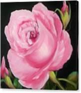 A Pink Rose Canvas Print
