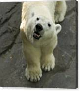 A Polar Bear Looks Up At Its Observers Canvas Print