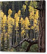 A Ponderosa Pine Tree Among Aspen Trees Canvas Print