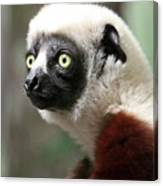 A Portrait Of A Sifaka Primate, A Large Lemur Canvas Print