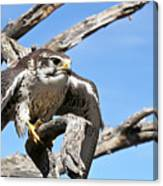 A Prairie Falcon Against A Blue Sky Canvas Print