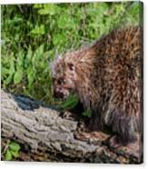 A Prickly Situation Canvas Print