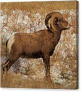A Proud Ram Canvas Print