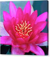 A Red And Yellow Water Lily Flower Canvas Print