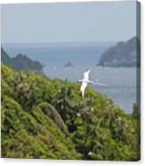A Red-billed Tropicbird (phaethon Canvas Print