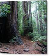 A Redwood Trail Canvas Print