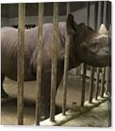 A Rhino At The Sedgwick County Zoo Canvas Print