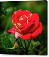 A Rose In Los Gatos Canvas Print