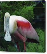 A Roseate Spoonbill Along The Gulf Canvas Print