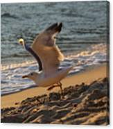 A Seagull Starts His Flight Canvas Print