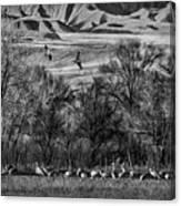 A Sedge Of Sandhill Cranes Canvas Print