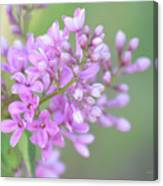 A Shade Of Purple, A Shade Of Spring Canvas Print