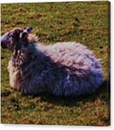 A Sheep In Wales Canvas Print