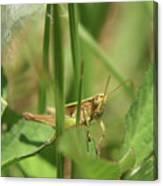 A Shy Grasshopper Canvas Print