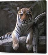 A Siberian Tiger At Omahas Henry Doorly Canvas Print