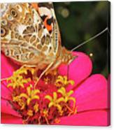 A Sip Of Zinnia Canvas Print
