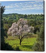 A Solitary Almond Tree Canvas Print