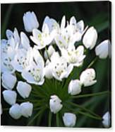 A Spray Of Wild Onions Canvas Print