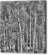 A Stand Of Aspen Trees In Black And White Canvas Print