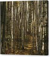 A Stand Of Birch Trees Show Canvas Print